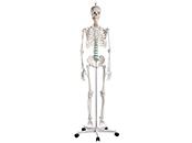 Skelett   Wirbelsäule